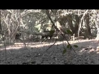 Tusky ,Cape York Boar  shot with 6.5 x 55. Saratoga Fishing and Hunting Adventures. 2013