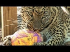 Big Cats vs Easter Eggs!